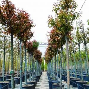 Japon süs elması, Çiçek elması,Japon çiçekli yengeç, Japon yengeç - Malus floribunda tige (ROSACEAE)