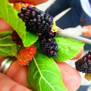 Ters aşılı meyveli kara dut - Morus nigra pendula (MORACEAE)