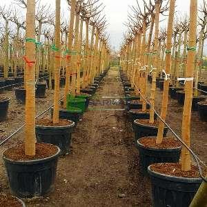 Meyvesiz dut, Peyzaj dutu,Çınar yapraklı dut - Morus alba kagayamae (Morus platanifolia) (MORACEAE)