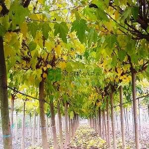 Meyvesiz dut, Peyzaj dutu,Çınar yapraklı dut ağaç formlu - Morus alba fruitless tige standart (Morus platanifolia) (MORACEAE)