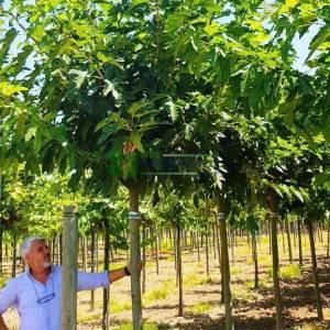Meyvesiz dut, Peyzaj dutu,Çınar yapraklı dut ağaç formlu - Morus alba fruitless (Morus platanifolia) (MORACEAE)