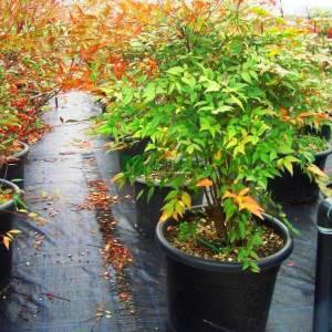Boylu cennet bambusu - Nandina domestica (BERBERIDACEAE)