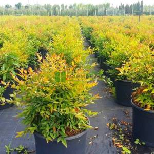 Yarı bodur cennet bambusu - Nandina domestica gulf stream (BERBERIDACEAE)