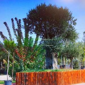 Bonsai formlu beyaz çiçekli Zeytin ağacı, Avrupa zeytini, Topiary zeytin - Olea europa monument (OLEACEAE)