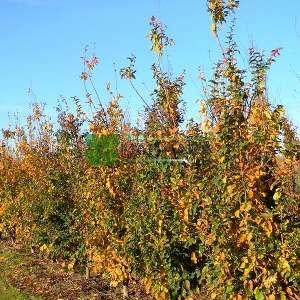 Kızaran kırmızı çiçekli İran demir ağacı alttan dallı - Parrotia persica multistem (HAMAMELIDACEAE)