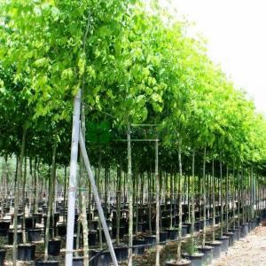 Kanada Akçaağacı,Dişbudak yapraklı akçaağaç - Acer negundo (ACERACEA)