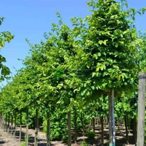 Kızaran kırmızı çiçekli İran demir ağacı - Parrotia persica tige (HAMAMELIDACEAE)