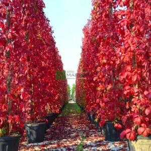 KızaranKızaran Amerikan sarmaşığı, Beş yapraklı kızaran sarmaşık, Boston sarmaşığı - Parthenocissus (Ampelopsis=Vitis) quinquefolia (VITACEAE) Amerikan sarmaşığı, Beş yapraklı kızaran sarmaşık, Boston sarmaşığı - Parthenocissus (Ampelopsis=Vitis) quinquefolia (VITACEAE)