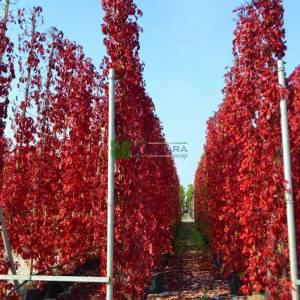 Kızaran Amerikan sarmaşığı, Beş yapraklı kızaran sarmaşık, Boston sarmaşığı - Parthenocissus (Ampelopsis=Vitis) quinquefolia (VITACEAE)