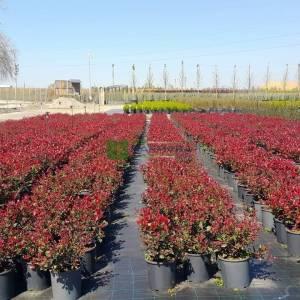 Bodur alev çalısı,top formlu alev çalısı, cüce ateş ağacı - Photinia fraseri little red nana (ROSACEAE)