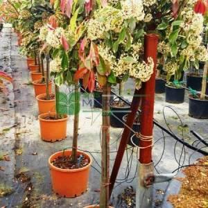 Gümüşi yapraklı baston alev ağacı, kısa tijli - Photinia fraseri pink marble (ROSACEAE)