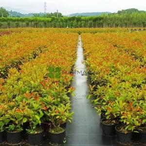 Beyaz çiçekli kızaran alev çalısı, Alev ağacı, Ateş ağacı - Photinia fraseri red robin bush (ROSACEAE)