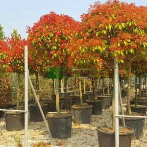 Beyaz çiçekli kızaran yarım tijli alev ağacı, Alev ağacı, Ateş ağacı - Photinia fraseri red robin half tige (ROSACEAE)