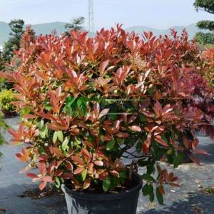 Beyaz çiçekli kızaran top formlu alev çalısı, Alev ağacı, Ateş ağacı - Photinia fraseri red robin ball (ROSACEAE)