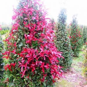 Beyaz çiçekli kızaran piramit formlu alev çalısı, Alev ağacı, Ateş ağacı - Photinia fraseri red robin pyramidale (ROSACEAE)