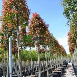 Beyaz çiçekli kızaran tijli alev ağacı, Ateş ağacı - Photinia fraseri red robin tige (ROSACEAE)