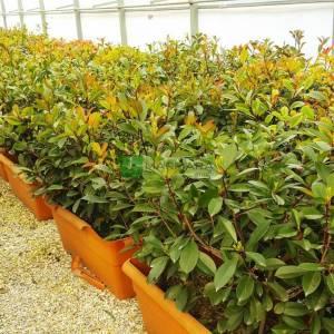 Çit formlu alev çalısı - Photinia fraseri red robin wall (ROSACEAE)