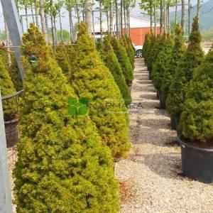 Yeşil cüce konik ladin - Picea glauca albertiana conica (PINACEAE)