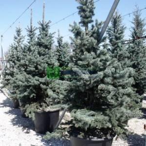Aşılı mavi ladin - Picea pungens glauca (PINACEAE)