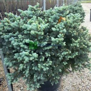 Bodur mavi ladin, cüce mavi ladin - Picea pungens glauca globosa (PINACEAE)