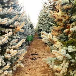 Colorado Spruce, Blue Spruce Hoopsii
