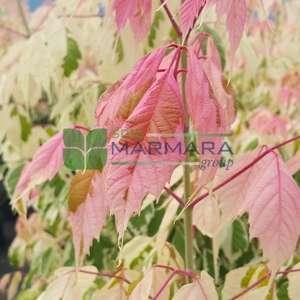 flamingo akçaağaç,alaca yapraklı akçaağaç - Acer negundo flamingo half tige (ACERACEA)