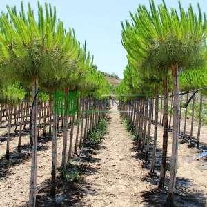 Fıstık çamı - Pinus pinea tige (PINACEAE)