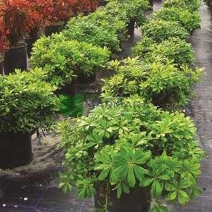 Bodur yeşil yapraklı yıldız çalısı - Pittosporum tobira nana (PITTOSPORACEAE)