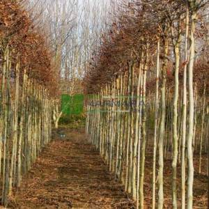 Top formlu aşılı batı çınarı, Kavlan bitkisi - Platanus acerifolia (hispanica) alphens globe (PLATANACEAE)
