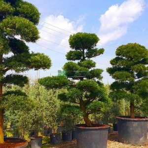 Taş porsuğu, Podocarpus - Podocarpus macrophyllus bonsai (PODOCARPACEAE)