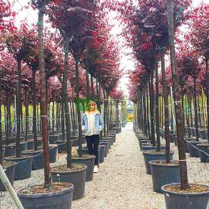 Pembe çiçekli süs eriği ağaç formlu - Prunus cerasifera pissardii nigra tige (ROSACEAE)
