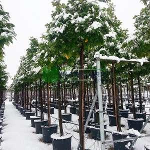 Beyaz çiçekli yaprak dökmeyen karayemiş ağacı - Prunus laurocerasus tige (ROSACEAE)