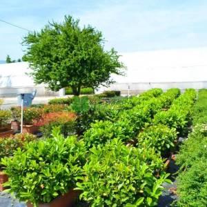 Beyaz çiçekli yaprak dökmeyen çit karayemiş çalısı - Prunus laurocerasus wall (ROSACEAE)