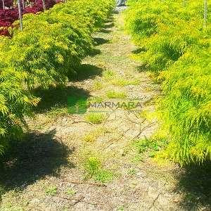 İnce yeşil yapraklı palmatifidium japon akçaağacı - Acer palmatum dissectum green palmatifidium (ACERACEA)