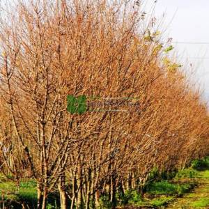 Pembe çiçekli çalı süs kirazı - Prunus okame (ROSACEAE)