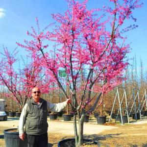Pembe çiçekli çalı süs kirazı - Prunus okame multi stem (ROSACEAE)