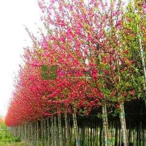 Pembe çiçekli süs şeftalisi - Prunus persica (ROSACEAE)