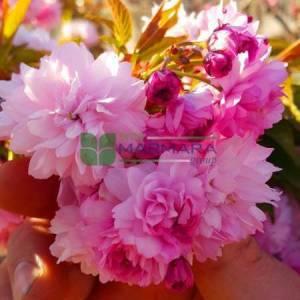 Pembe çiçekli kırmızı yapraklı süs kirazı - Prunus serrulata royal burgundy (ROSACEAE)