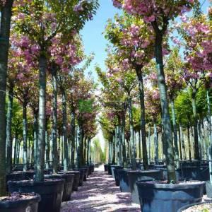 Pembe çiçekli kanzan süs kirazı - Prunus serrulata kanzan (ROSACEAE)