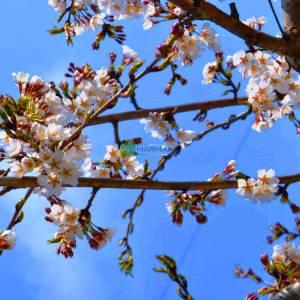 Beyaz çiçekli ters aşılı süs kirazı - Prunus serrulata kanzan pendula (ROSACEAE)