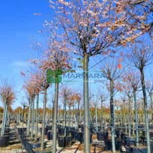 Kış kirazı, Top formlu aşılı pembe, beyaz, çiçekli süs kirazı - Prunus x subhirtella autumnalis (ROSACEAE)