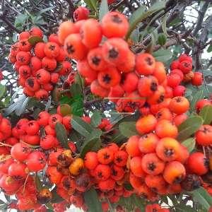 Köpek elması, Çin ateş dikeni - Pyracantha coccinea (ROSACEAE)