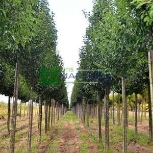 Çin Süs armudu ağacı - Pyrus calleryana chanticleer tige (ROSACEAE