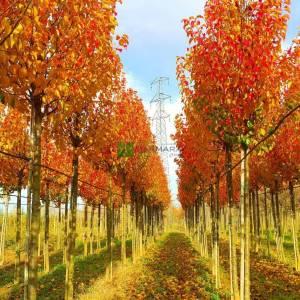 Çin Süs armudu ağacı kırmızı sarı turuncu beyaz çiçekli - Pyrus calleryana chanticleer (ROSACEAE)