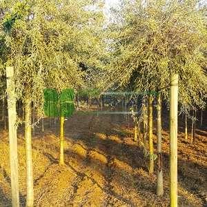 Ters aşılı çin Süs armudu, iğde yapraklı süs armudu, söğüt yapraklı süs armud - Pyrus salicifolia pendula (ROSACEAE)