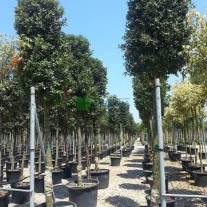 Yaprak dökmeyen pırnal meşesi, Pelit, Palamut ağacı, Meşe palamudu - Quercus ilex (FAGACEAE)
