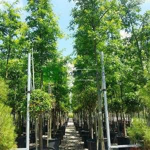Batalık meşesi ağaç formlu - Quercus palustris tige (FAGACEAE)