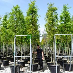 Batalık meşesi ağaç formlu - Quercus palustris (FAGACEAE)