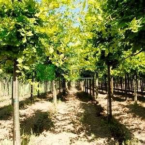 Yaprak döken saplı meşe, Pelit, Palamut ağacı, Meşe palamudu - Quercus robur tige (FAGACEAE)