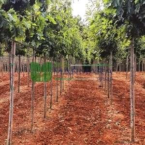 Kızaran yapraklı Pelit, Palamut ağacı, Meşe palamudu,Amerikan meşesi - Quercus rubra tige standart (FAGACEAE)